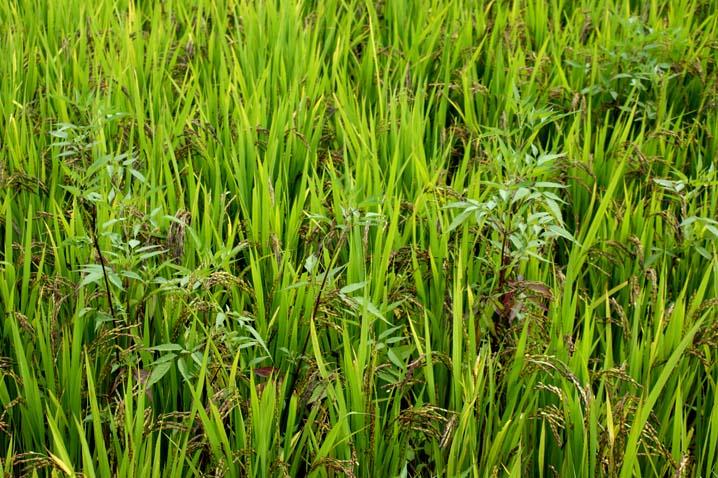 풀과함께 벼가 자라는 논, 건강한 흑미 쌀이 자라고 있어요.